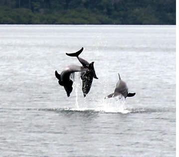 Bottlenose dolphins jumping in Dolphin Bay in Bocas del Toro, Panama