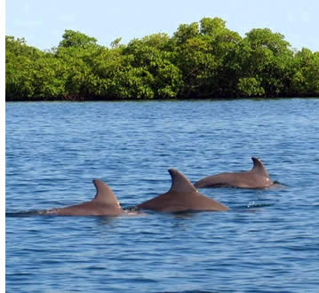 Dolphins Swimming in Bocas del Toro, Panama